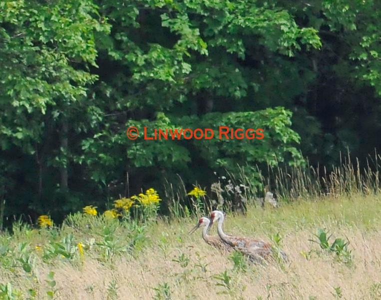 Sandhill Cranes feed in a field near Belgrade, Maine