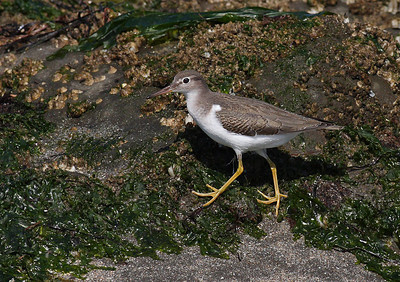 Spotted Sandpiper (Winter Plumage)