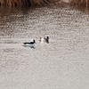Buffleheads, Sandy Hook, NJ