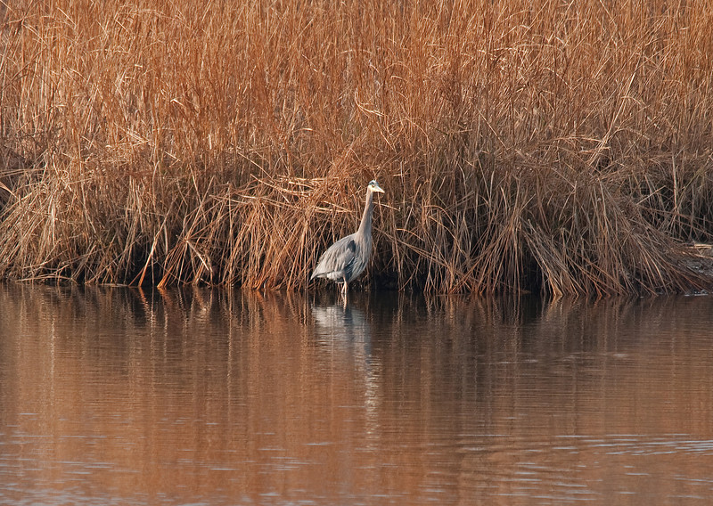 Great blue heron, Sandy Hook, NJ