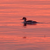 Common Merganser on Raritan Bay at Sunset