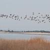 Brants and gull, Sandy Hook, NJ