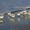 Sanderlings.<br /> Sanibel Island, Florida.