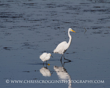 ~ Walk this Way ~ Snowy Egret and Great Egret. Ding Darling National Wildlife Refuge, Florida.