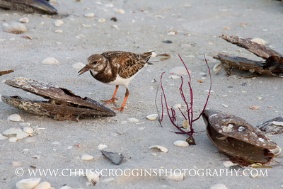 Ruddy Turnstone Foraging. Sanibel island, Fliorida.