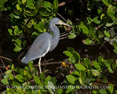 Little Blue Heron. Ding Darling National Wildlife Refuge. Sanibel Island, Florida.