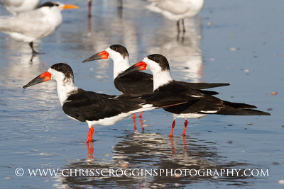 Black Skimmer Birds