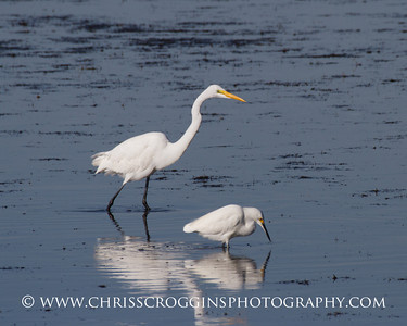 Great Egret and Snowy Egret.  Ding Darling National Wildlife Refuge,  Sanibel Island, Florida.
