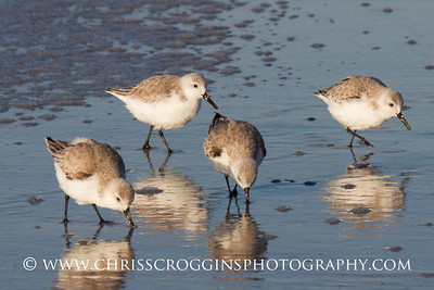 Sanderlings Feeding. Sanibel Island.