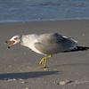 Ring-billed Gull.