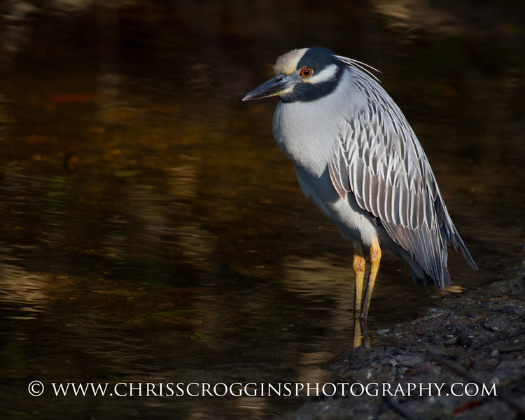 Yellow-crowned Night Heron.<br /> Ding Darling National Wildlife Refuge.<br /> Sanibel Island, Florida.