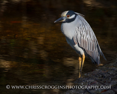 Yellow-crowned Night Heron. Ding Darling National Wildlife Refuge. Sanibel Island, Florida.
