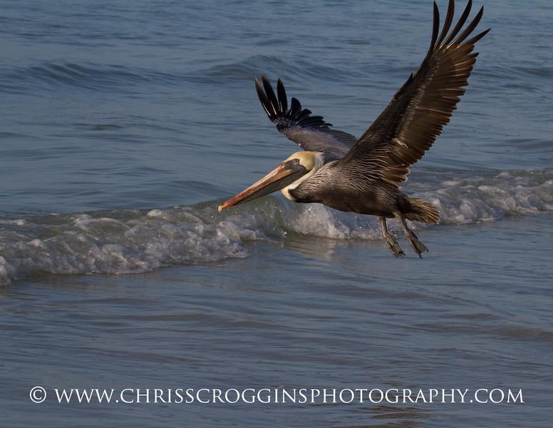 Brown Pelican in Flight.<br /> Sanibel Island, Florida.