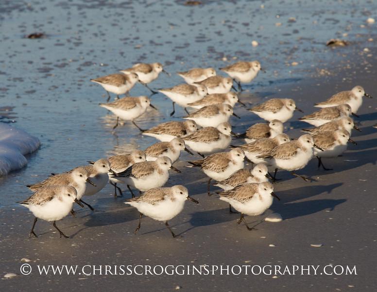 March of the Sanderlings 1.<br /> Sanibel Island, Florida.