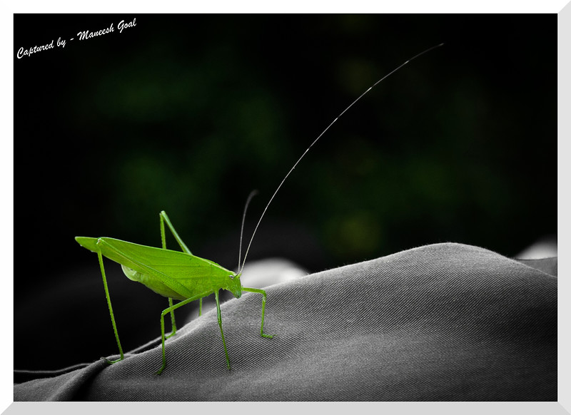Grass Hopper, Sanjay Gandhi National Park