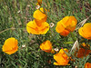 California Poppy (Eschscholzia californica). (Yeah, yeah, a lot of poppy photos. I like poppies.)