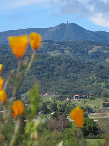 California Poppy (Eschscholzia californica)  and Mount Umunhum in the distance.