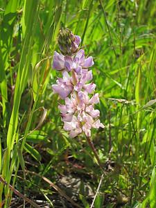 Pale pink flower stalk. (Lupine)