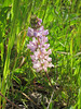 Pale pink flower stalk. (Lupine)