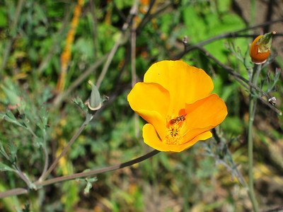 California Poppy (Eschscholzia californica) with pollinator.