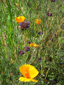 California Poppy (Eschscholzia californica) and chia.
