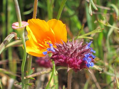 California Poppy (Eschscholzia californica) and chia (purple).