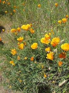 California Poppy (Eschscholzia californica).