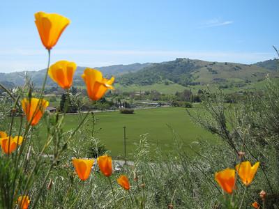 California Poppy (Eschscholzia californica)  and the view over Almaden valley