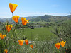 California Poppy (Eschscholzia californica)  and the view over Almaden valley