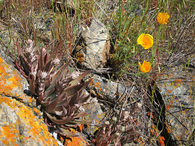 Poppies and some kind of succulent with lichen-covered rock.