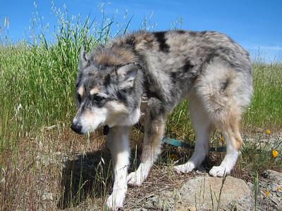 Tika exploring the tundra.