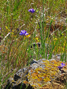 Purple (Blue Dicks) and yellow flowers and another lichen-covered rock.