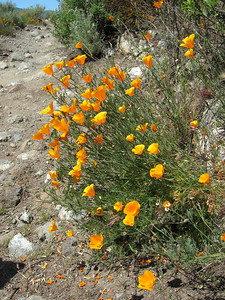 California Poppy (Eschscholzia californica), just can't get enough views of these!