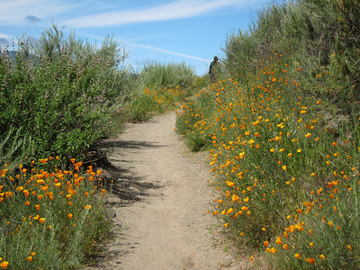 Trail lined with poppies with a mysterious hiker vanishing in the distance