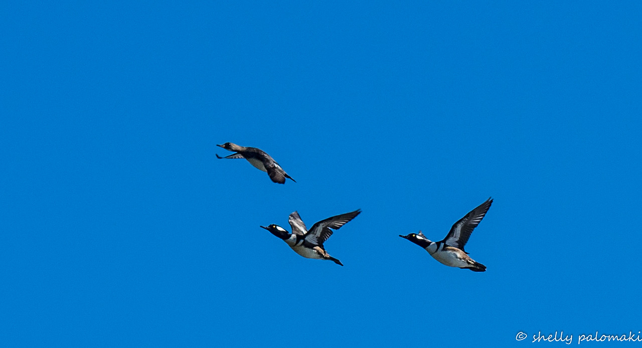 hooded mergansers in flight