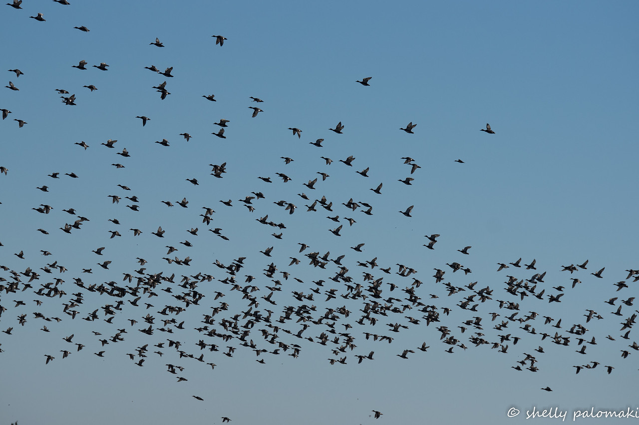Giant flock of Gadwells take off.
