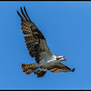 Osprey showing of its catch.