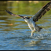"Like many fishermen, the osprey is prone to telling 'fish stories'.  ""It was two feet long and weighed soo much, I could barely take off!"""