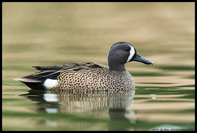 Male Blue Winged Teal in the rain.