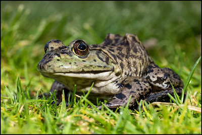 """I've got my eye on you!""  Large Bullfrog in the grass."