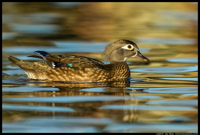 Female Wood Duck on an afternoon cruise.