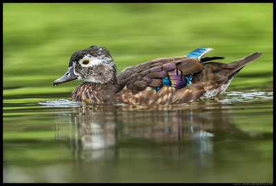 Female Wood Duck cruising by.
