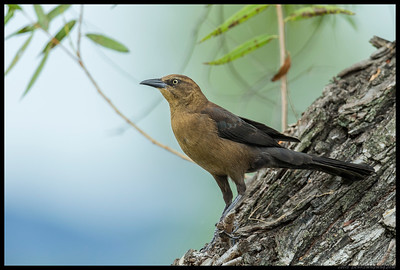 The Grackles were as brash as ever, with this female scoping out the area before investigating on foot.