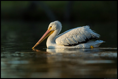 American White Pelican on a slow cruise just before the sun dropped behind the mountains.