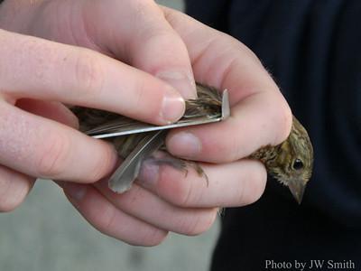 Banding a Juvenile Chipping Sparrow (Spizella passerina)