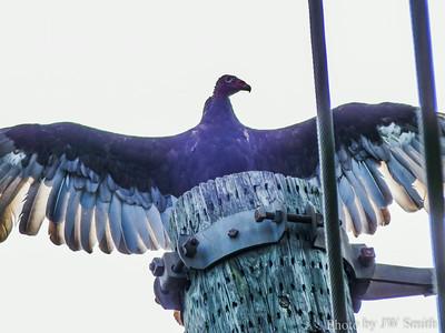 Turkey Vulture (Cathartes aura)