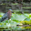 Adult Green Heron (Butorides virescens)