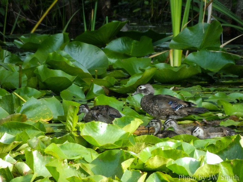 Female Wood Duck (Aix sponsa) with young.