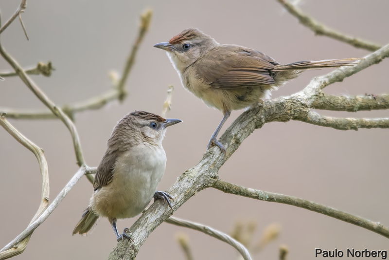 Phacellodomus rufifrons<br /> João-de-pau<br /> Rufous-fronted Thornbird<br /> Espinero frente rojiza - Añumby'i