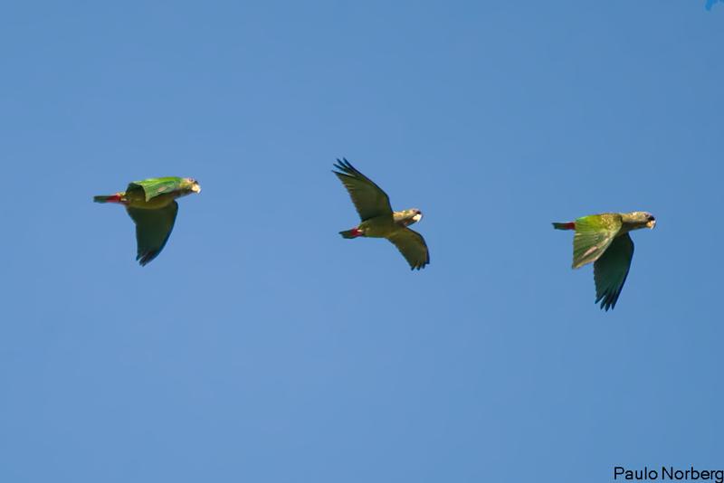 Pionus maximiliani<br /> Maritaca-verde<br /> Scaly-headed Parrot<br /> Loro choclero - Maitaka